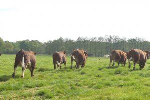 4 mei koeien (10)