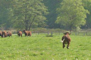 4 mei koeien (14)