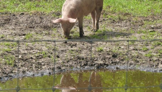4 mei koeien (2)