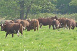 4 mei koeien (21)
