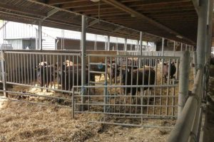 4 mei koeien (4)