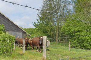 4 mei koeien (6)