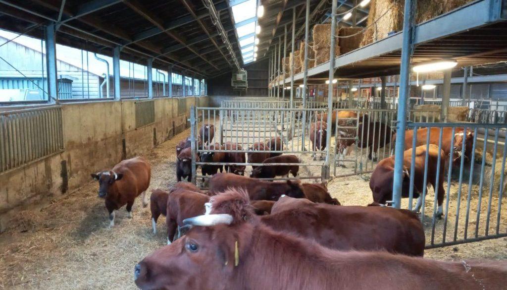 koeien met veel bewegingsvrijheid in de potstal