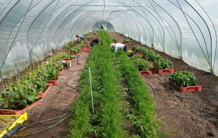 Tomaten en wortels in kas